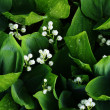 Lilies of the valley - Stock Photo