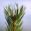Fir tree branch — Stock Photo