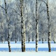 View of beautiful winter birch wood — Stock Photo