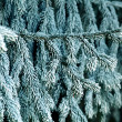 Fir branches covered with hoarfrost — Stock Photo