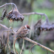 Sparrow on a dry branch — Stock Photo