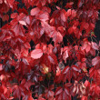 Bright red leaves autumn background — ストック写真