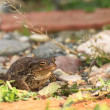 Common toad bufo — Stock Photo