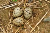 Gull eggs in the nest — Stock Photo
