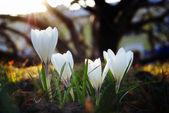 Snowdrops spring — Stock Photo