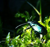 Colorful ground beetle — Stock Photo