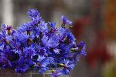 Cornflower blue flowers — Stock Photo