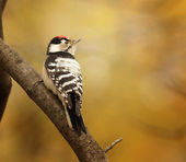 Woodpecker on a tree branch — Stock Photo