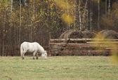 White Horse, Pony — Stock Photo