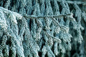 Fir branches covered with hoarfrost — Foto Stock