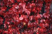 Vermelho brilhante deixa fundo outono — Foto Stock