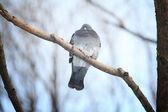 在冬天的树枝上冷冻的鸽 — 图库照片