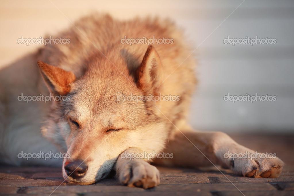 White wolf shepherd - photo#25