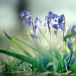 Snowdrops, blue small flowers — Stock Photo