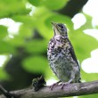 Stock Photo: Nestling blackbird on branch