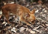 Little dog in autumn forest — Stock Photo