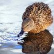 Mallard duck — Stock Photo #28270101