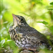 Nestling blackbird on a branch — Stock Photo