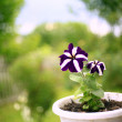 Purple petunia in a pot outdoors — Stok fotoğraf