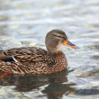 Close-up of a wild, female Mallard Duck — Stock Photo