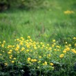 Yellow flowers in the field, the wild — Stock Photo