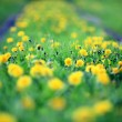Yellow dandelions — Stock Photo #28270407