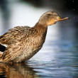 Stock Photo: Mallard, duck washing