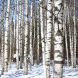 Background spring birch forest and blue sky — Stock Photo