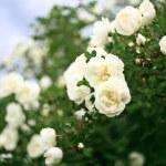 White roses bush — Stock Photo #28270775