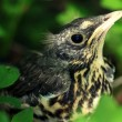 Stock Photo: Little bird starling