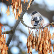 Bullfinch bird on a branch — Stock Photo