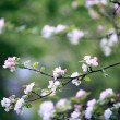 Branches of cherry, white flowers, spring — Stock Photo