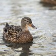 Mallard duck floating on the water — Stock Photo