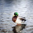 Stock Photo: Washing mallard