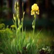Yellow iris flower — Stock Photo