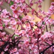 Stock Photo: Pink flowers, branches of sakura, spring
