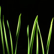 Green shoots, sprouts, grass, on a black background — Stock Photo