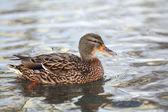 Close-up of a wild, female Mallard Duck — Stock Photo