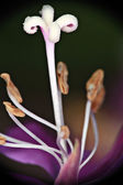 Detail of flower stamens — Stock Photo