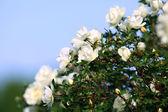 Bush of white roses — Stock Photo