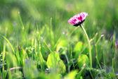 Ensam röd daisy blomman — Stockfoto