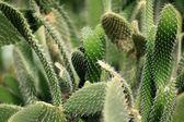 Textury kaktus — Stock fotografie