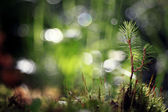 Pine branch on blurred background — Stock Photo