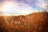 Field of dandelions at sunset — Stock Photo