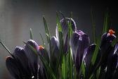 Crocus on a black background, beautiful spring flowers, snowdrop — Stock Photo