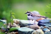 Little bird sitting on pebble stones — Stock Photo