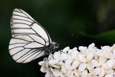 Black and white butterfly on white flowers — Foto Stock
