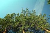 Céu de ramos de pinheiro — Foto Stock