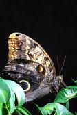 Kolorowy motyl skrzydłem makro — Zdjęcie stockowe