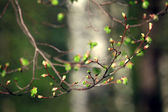 Kidney leaves on spring branches — Stock Photo